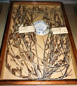 1896_olive-branch2